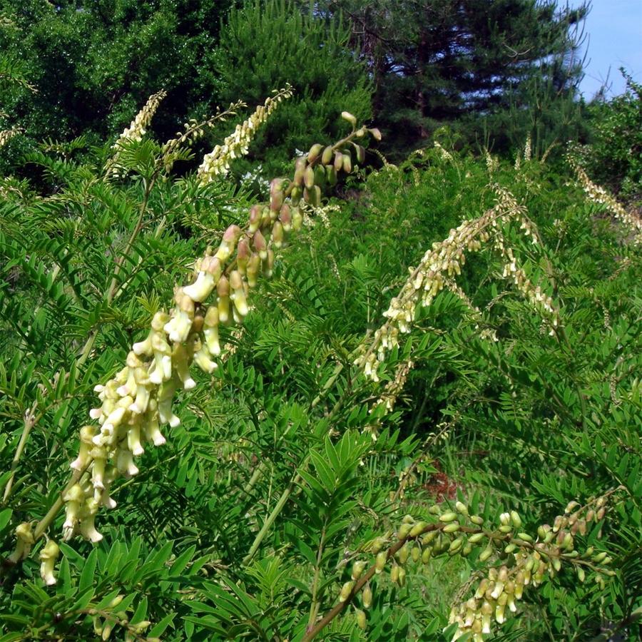 Софора желтеющая (Sophora flavescens)
