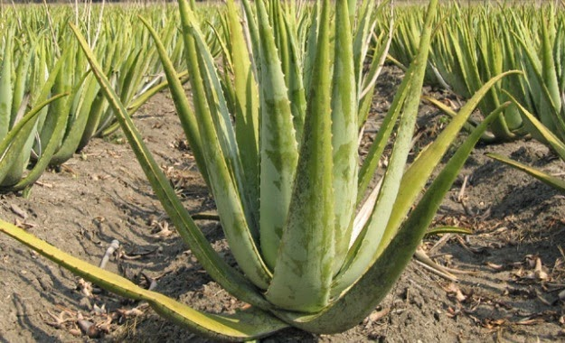 field_of_aloevera
