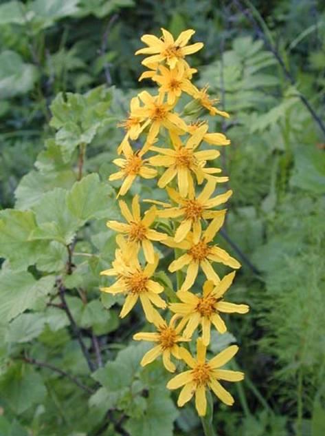цветок бузульника фишера